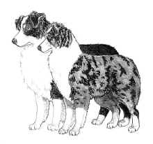 Published by the north american miniature australian shepherd club of